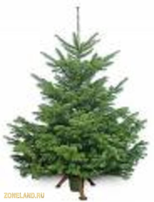 Купить живую елку высокие елки елки вип - новогодние елки.