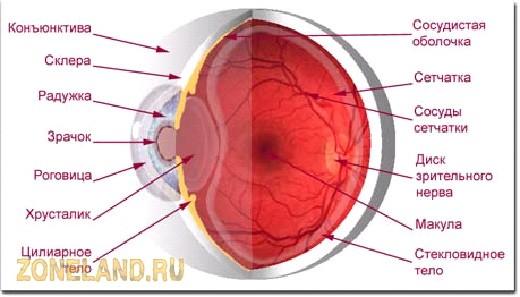 Световые лучи попадают от окружающих предметов в глаз через роговицу
