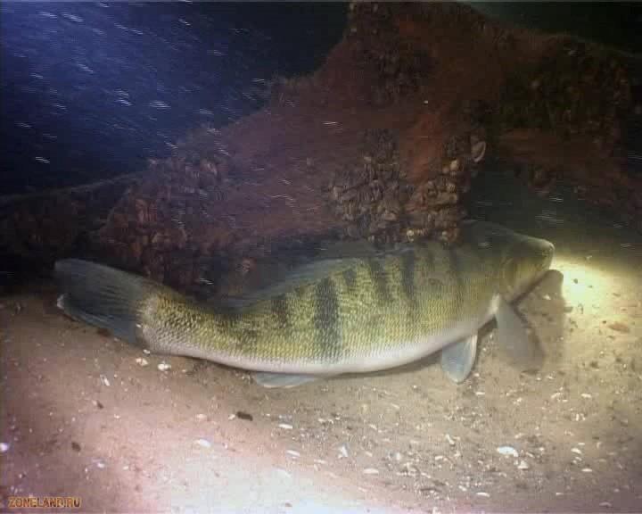 ловля судака на резинку - Судак - Интересные фото - Все для рыбалки